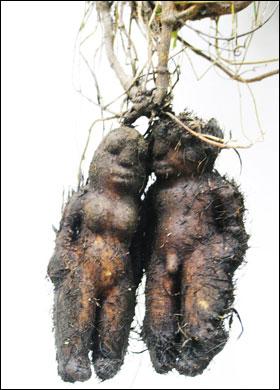 سب�ان الله … جذر نبات على شكل رجل و إمرأة